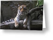 A Siberian Tiger At Omahas Henry Doorly Greeting Card