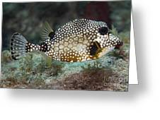 A Spotted Trunkfish, Key Largo, Florida Greeting Card