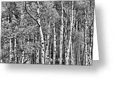 A Stand Of Aspen Trees In Black And White Greeting Card
