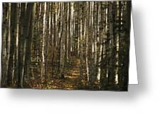 A Stand Of Birch Trees Show Greeting Card