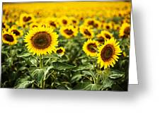 A Sunflower Plantation In Summer In South Dakota Greeting Card