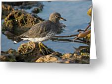 A Surfbird At The Tidepools Greeting Card
