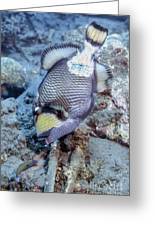 A Titan Triggerfish Faces Greeting Card