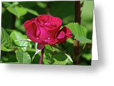 A Watered Rose  Greeting Card