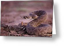 A Western Diamondback Rattlesnake Greeting Card