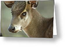 A Western Tufted Deer Elaphodus Greeting Card