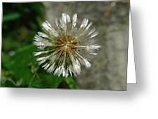A Wet Dandelion  Greeting Card