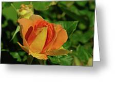 A Wet Rose  Greeting Card