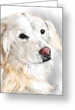 A White Golden Retriever Greeting Card