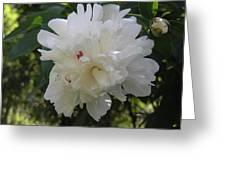 A White Peony Greeting Card