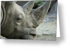 A White Rhino Sniffs The Muddy Ground Greeting Card