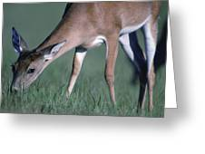 A White-tail Deer Munches On Some Green Greeting Card