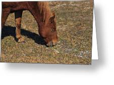 A Wild Pony In Assateague Greeting Card