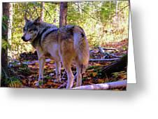 A Wolf Gazes Back Greeting Card