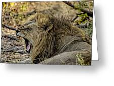 A Yawning Lion Greeting Card