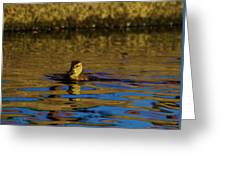 A Young Duckling Greeting Card