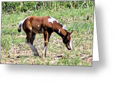 A Young Painted Colt  Greeting Card