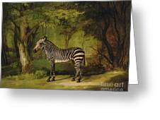 A Zebra Greeting Card by George Stubbs