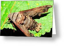 Abbotts Sphinx Moth Greeting Card