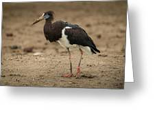 Abdim Stork Walks Right-to-left Across Muddy Ground Greeting Card