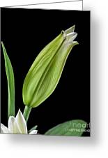 White Oriental Lily About To Bloom Greeting Card