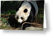 Absolutely Beautiful Giant Panda Bear With A Sweet Face Greeting Card