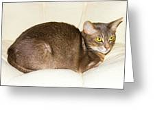 Abyssinian Cat On Chair Pillow, Symbol Of Comfort Greeting Card