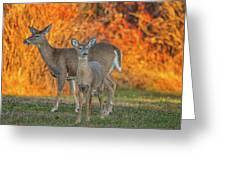 Acadia Deer Greeting Card