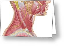 Accessory Nerve View Showing Neck Greeting Card