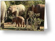 Addo Elephant Family Greeting Card