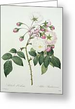 Adelia Aurelianensis Greeting Card by Pierre Joseph Redoute
