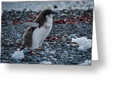 Adelie Penguin Chick Running Along Stony Beach Greeting Card
