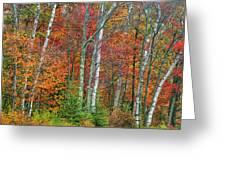 Adirondack Birches In Autumn Greeting Card