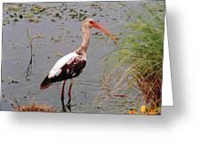 Adolescent Ibis Greeting Card