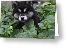 Adorable Alusky Puppy Hiding In A Garden Greeting Card