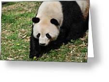 Adorable Face Of A Black And White Giant Panda Bear Greeting Card