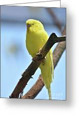 Adorable Face Of A Yellow Budgie Parakeet Greeting Card