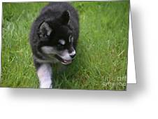 Adorable Fluffy Alusky Puppy Walking In Tall Grass Greeting Card