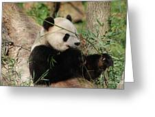 Adorable Giant Panda Bear Eating Bamboo Shoots Greeting Card