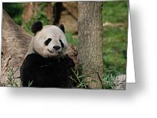 Adorable Giant Panda Eating A Shoot Of Bamboo Greeting Card