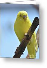 Adorable Yellow Budgie Parakeet Bird Close Up Greeting Card