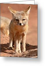 Adult Kit Fox Ears And All Greeting Card