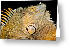 Adult Male Green Iguana Greeting Card