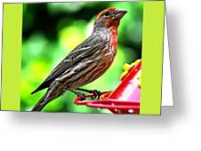 Adult Male House Finch Greeting Card