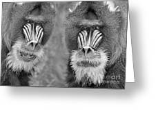 Adult Male Mandrills Black And White Version Greeting Card