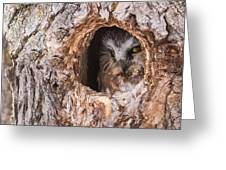 Adult Saw-whet Owl Greeting Card