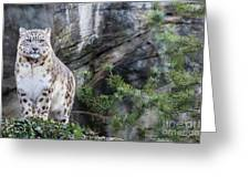 Adult Snow Leopard Standing On Rocky Ledge Greeting Card