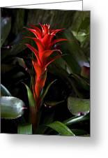 Aechmea  Bromeliad Flower Greeting Card