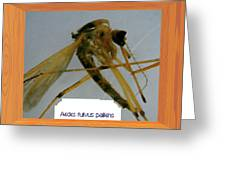 Aedes Fulvus Pallens- Mosquito Greeting Card