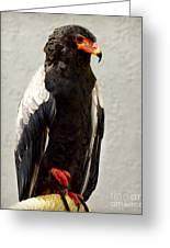 African Eagle-bateleur II Greeting Card